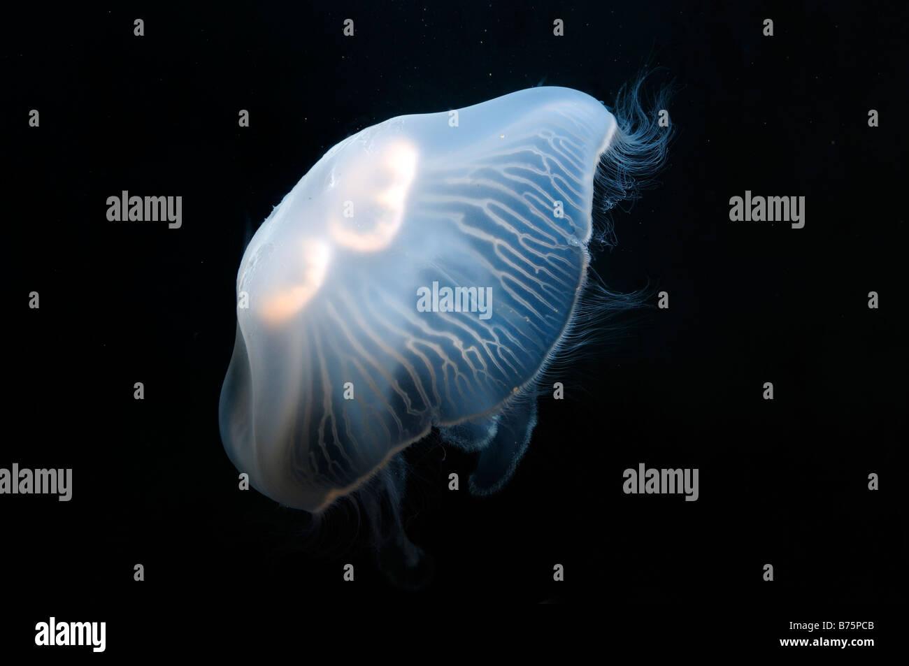 Luna medusa aurelia aurita captive Immagini Stock