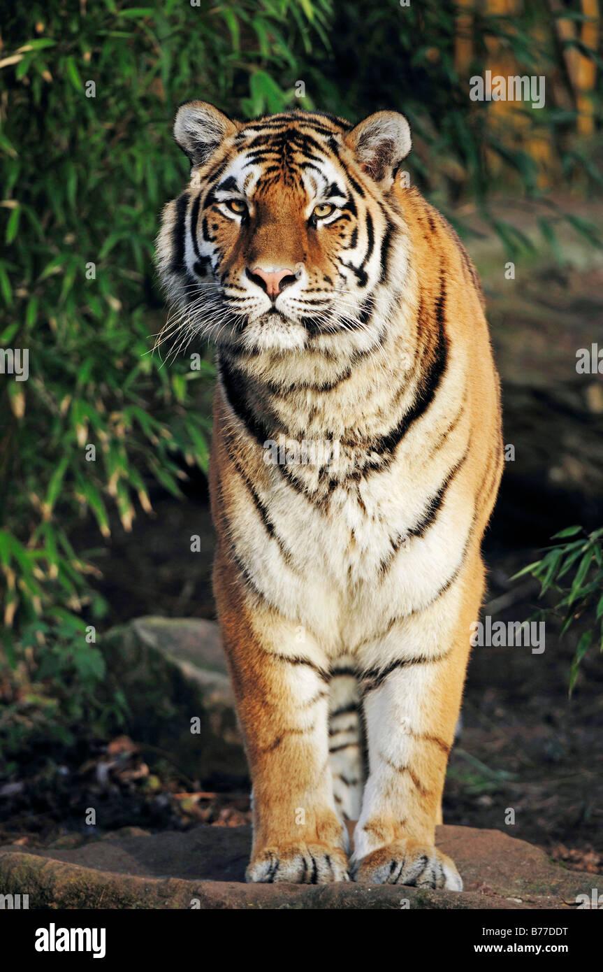 Tigre Siberiana, Manchurian Tiger, la tigre di Amur (Panthera tigris altaica) Immagini Stock