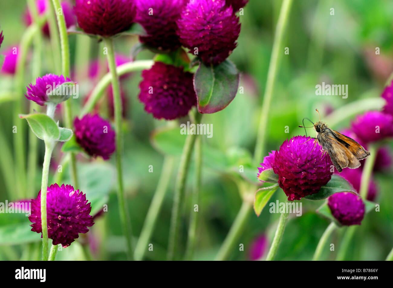 Gomphrena globosa 'tutto viola' Globe fiore di amaranto bloom fiore lilla viola Immagini Stock