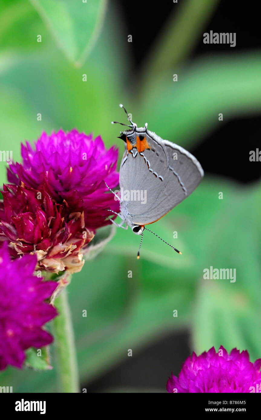 Grey Hairstreak Strymon melinus butterfly sip alimentazione bere il nettare di alimentazione su gomphrena globosa Immagini Stock