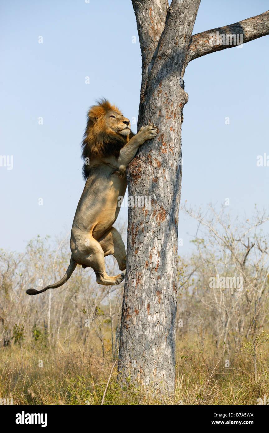 Un maschio di leone di arrampicarsi su un albero di Marula per neutralizzare i resti di un kill di Leopard Immagini Stock