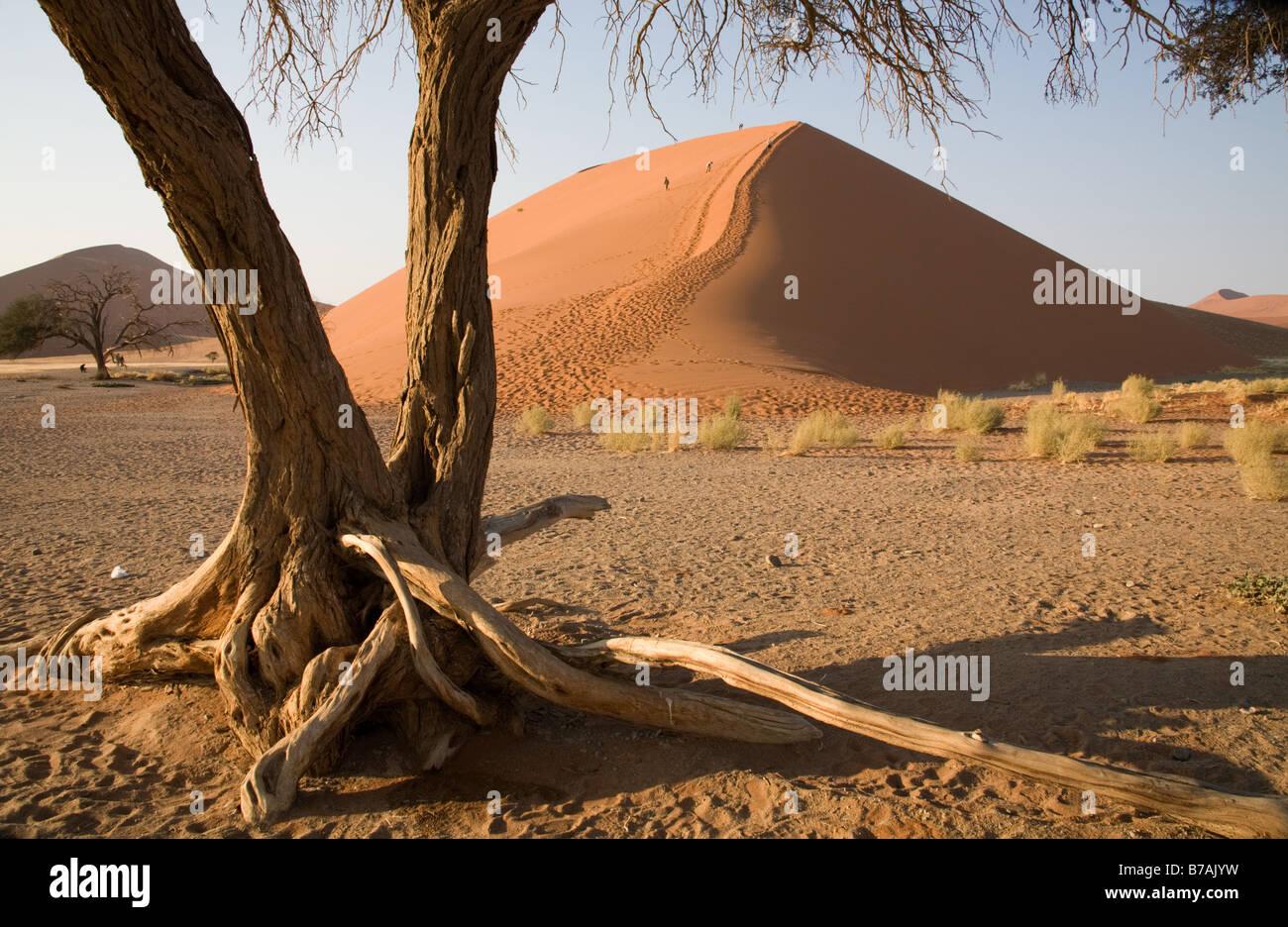 Dune 45 al Sossusvlei incorniciata da un molto vecchio albero Foto Stock