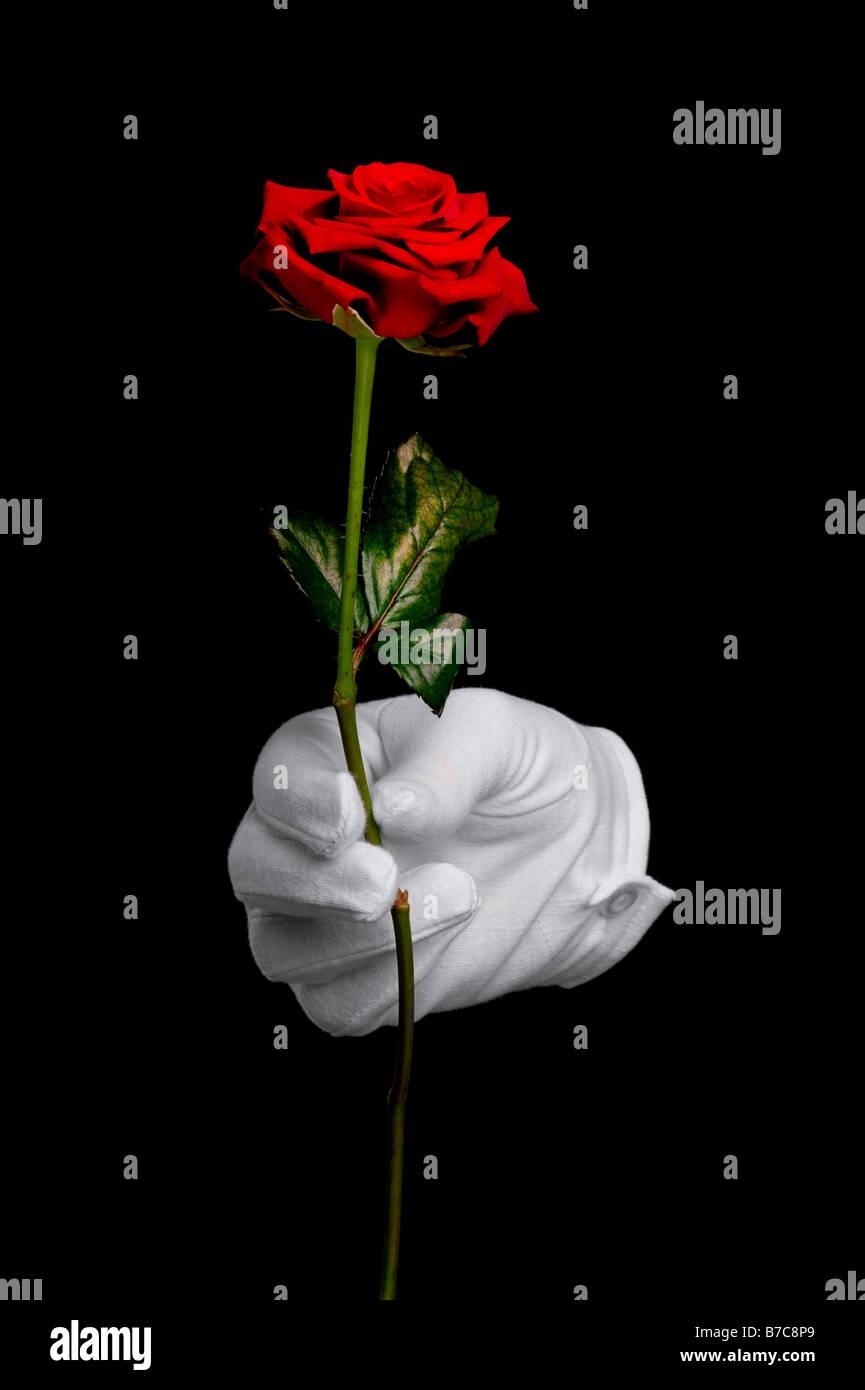 Una sola rosa rossa essendo presentato da una mano in un guanto bianco isolato su sfondo nero Foto Stock