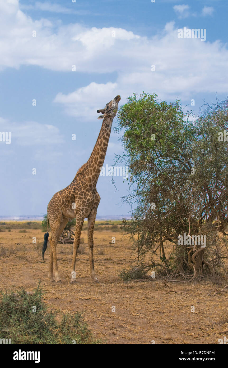 Giraffa e un albero di Amboseli kenya Immagini Stock