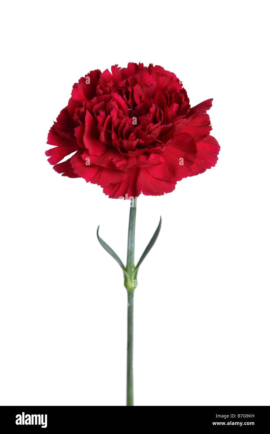 Red Carnation flower ritagliata su sfondo bianco Immagini Stock