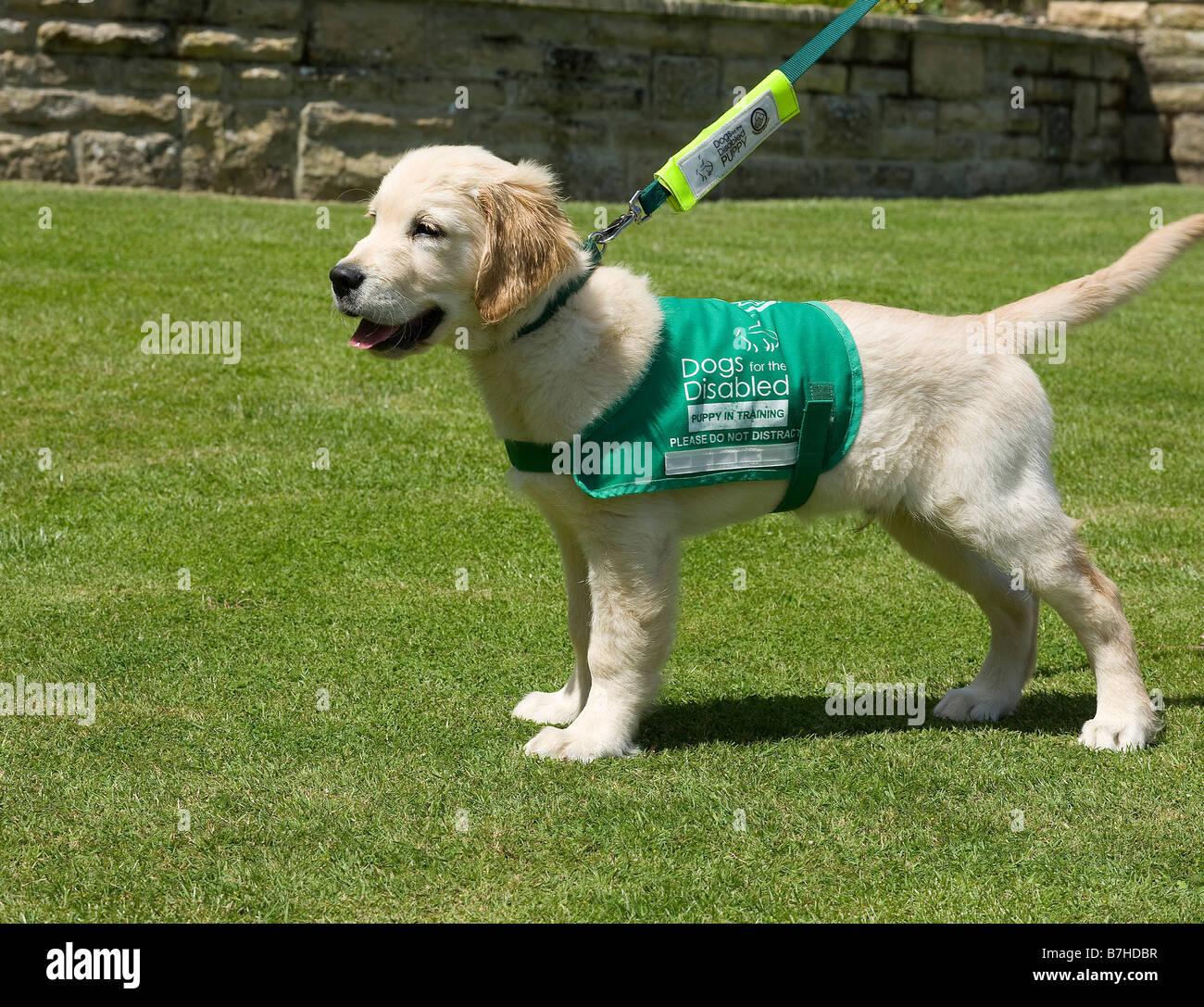 Xylo, Yorkbeach clessidra, 3 mesi di vecchio golden retriever, sport i suoi cani per disabili cucciolo socializzazione Immagini Stock