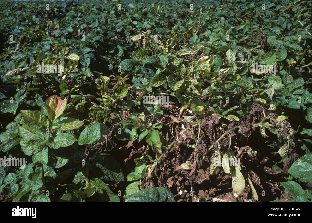 Il raccolto di patate soffre di una grave carenza di magnesio Immagini Stock
