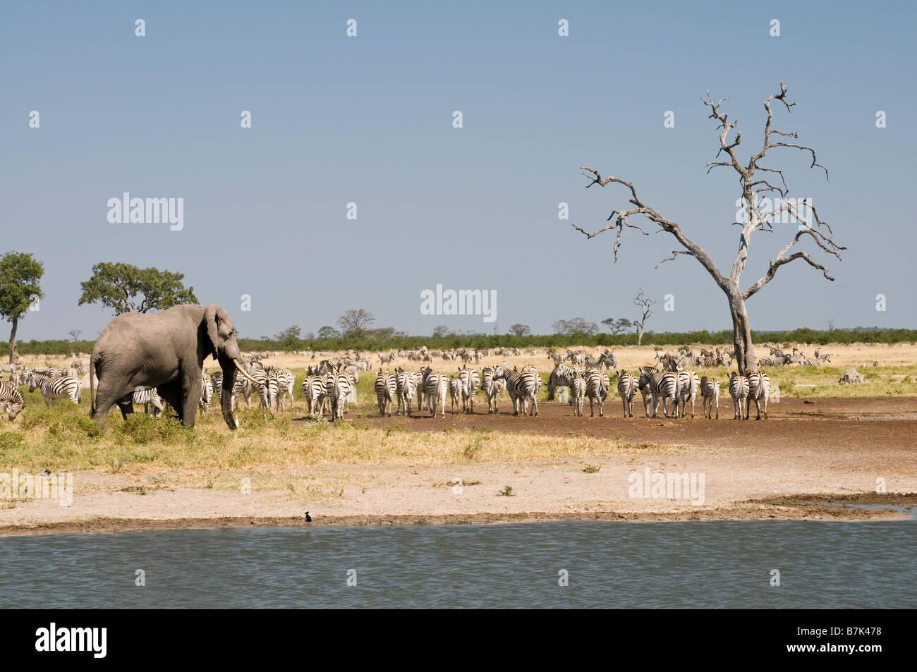 Elephant Zebra presso l'acqua Savuti Immagini Stock
