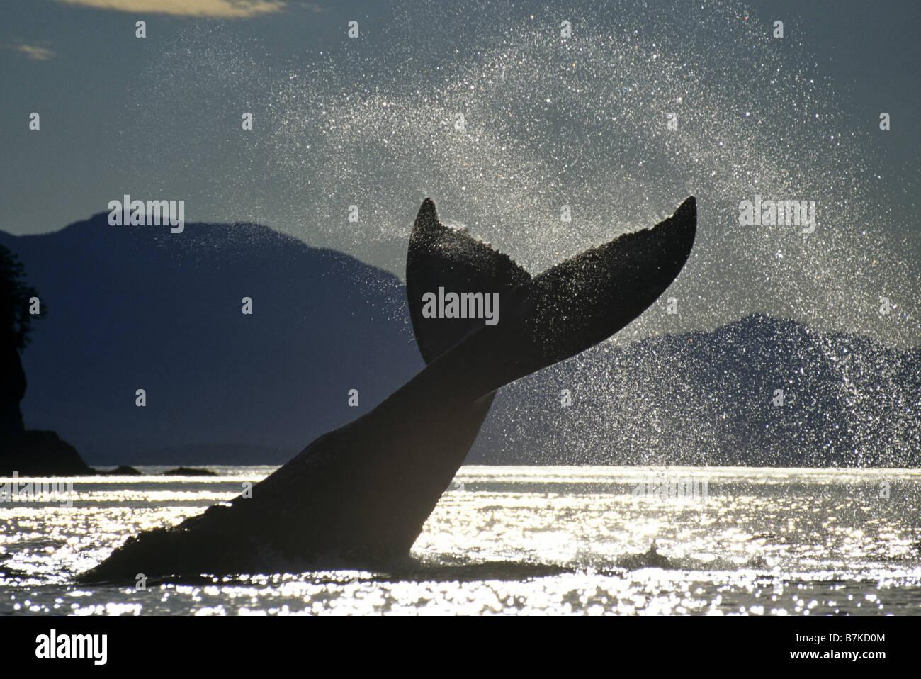 Humpback Whale lobtailing, Ghiacciato stretto, a sud-est di Alaska Immagini Stock