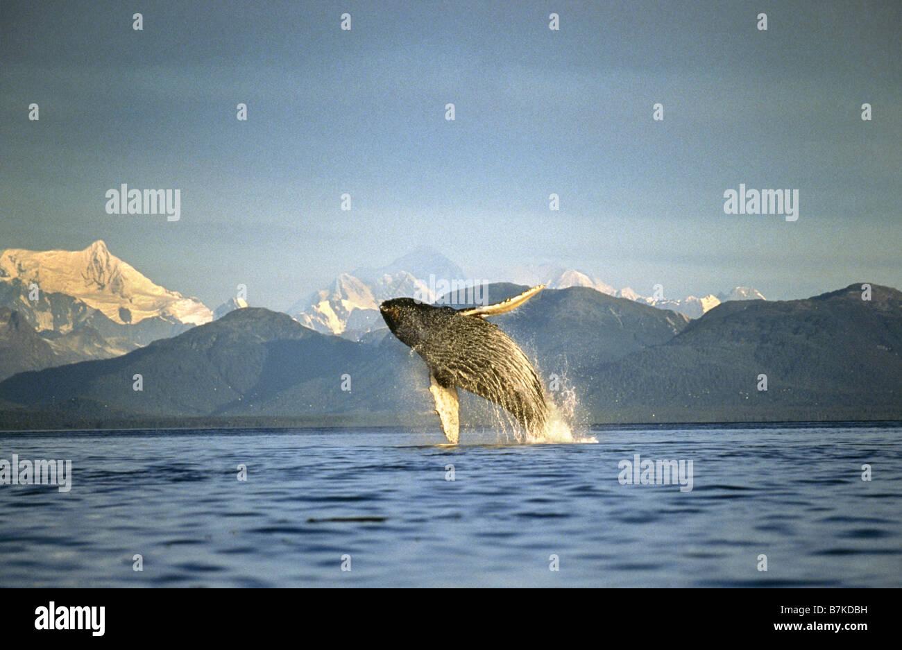 Humpback Whale violare, Ghiacciato stretto, a sud-est di Alaska Immagini Stock