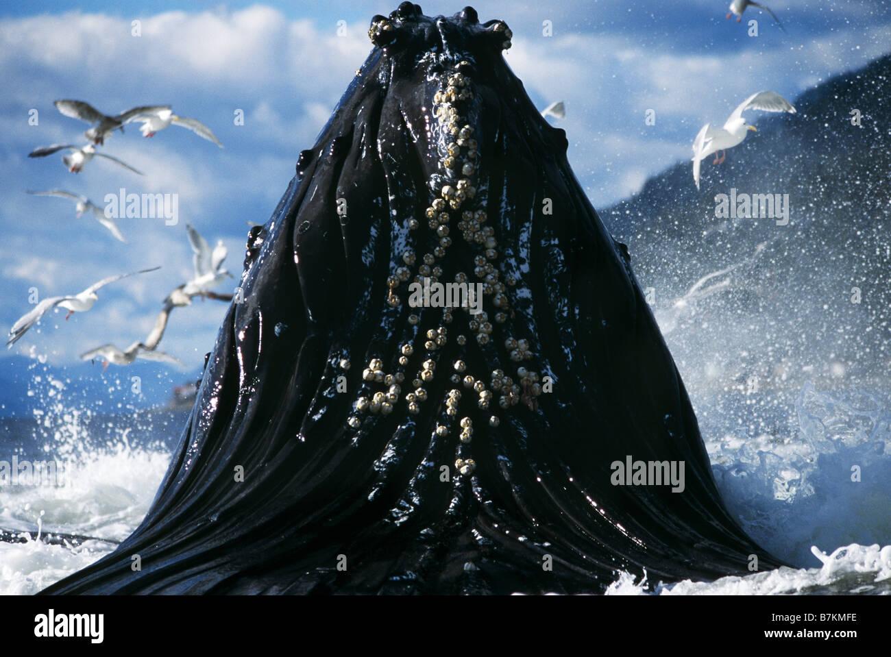 Humpback Whale affondo con alimentazione, ingresso Tenakee, a sud-est di Alaska Immagini Stock
