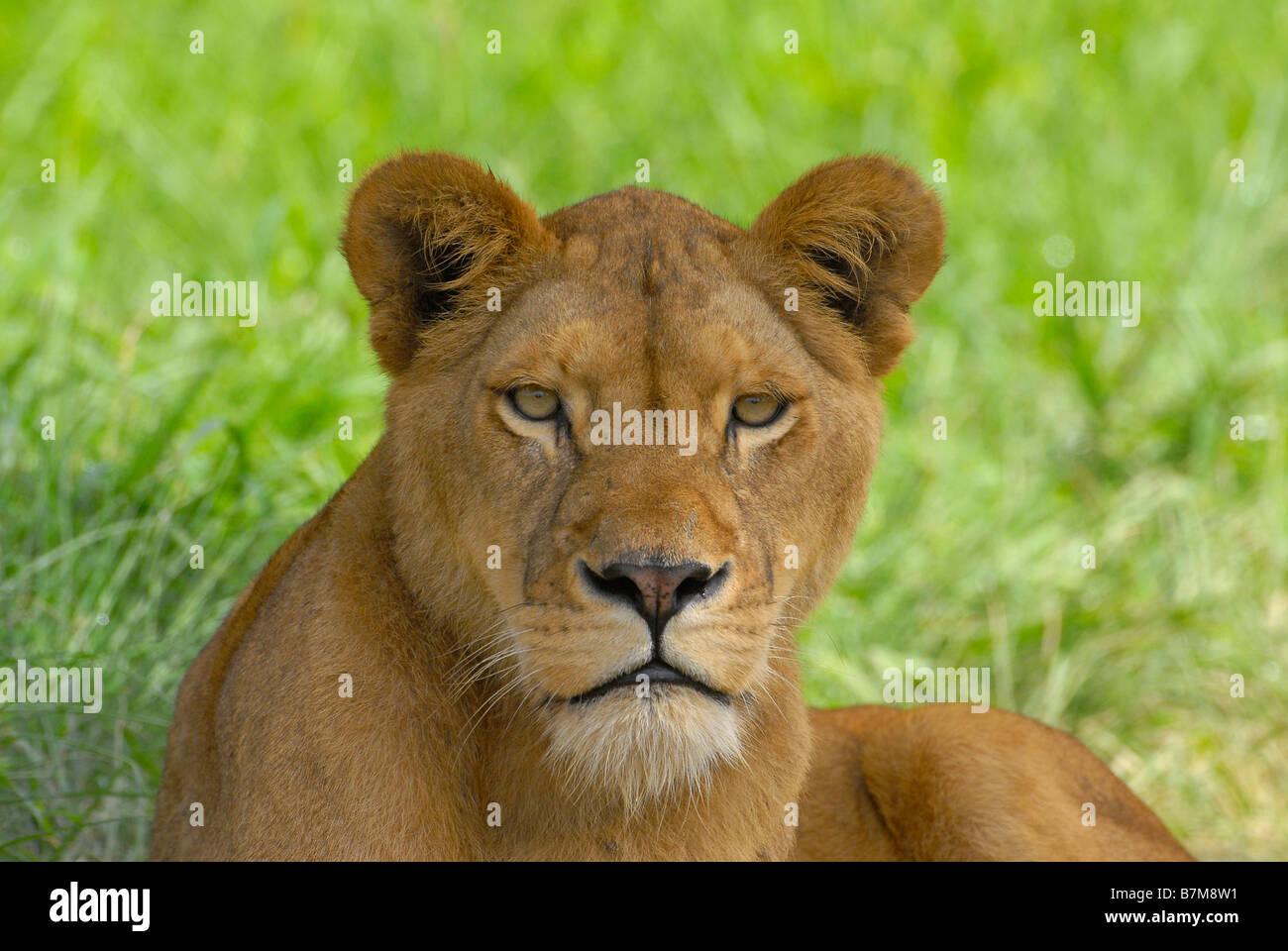 Leonessa in Natal Lion Park vicino a Pietermaritzburg, capitale di Kwazulu Natal Provincia del Sud Africa Immagini Stock