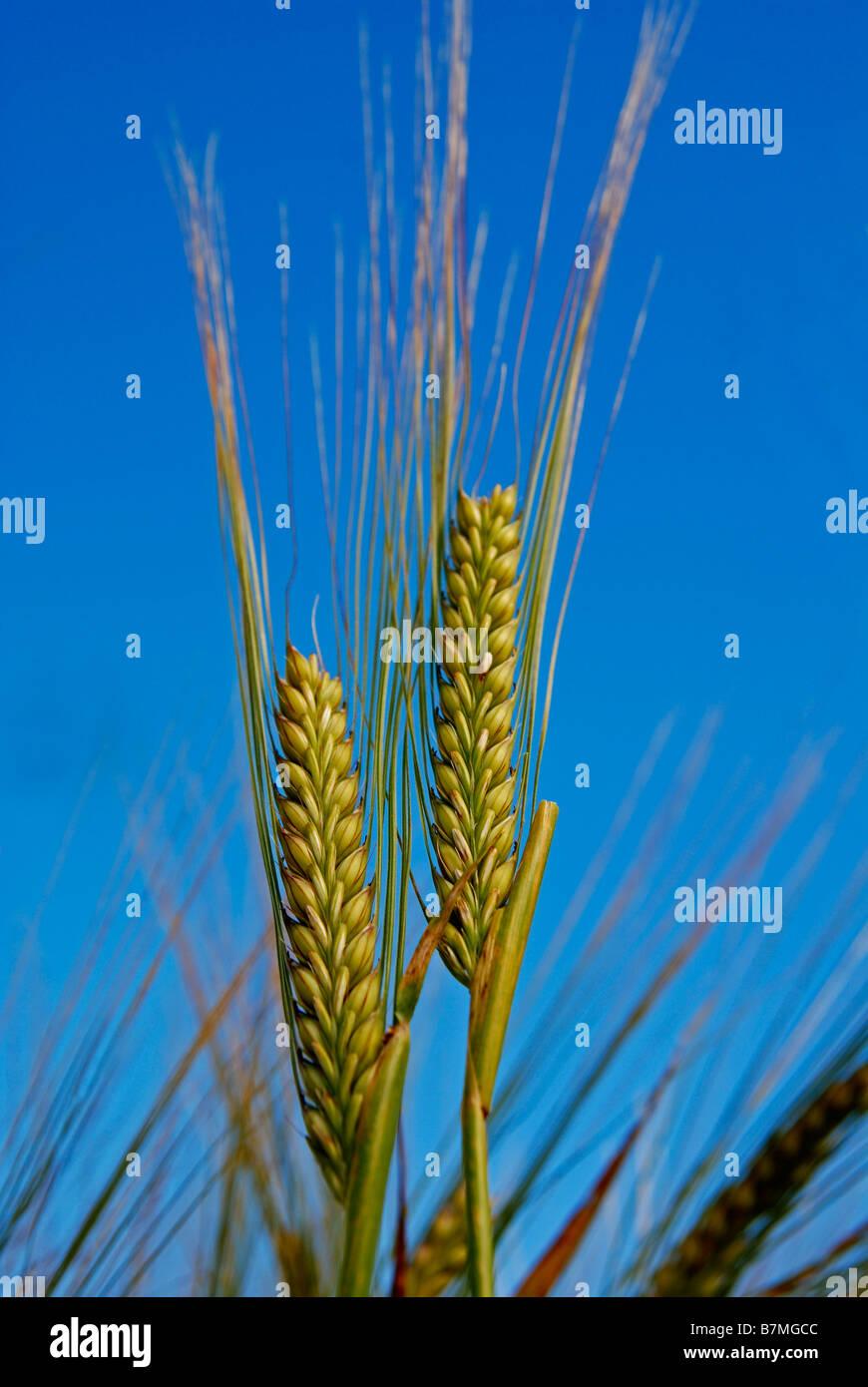 Un covone di grano dorati Immagini Stock