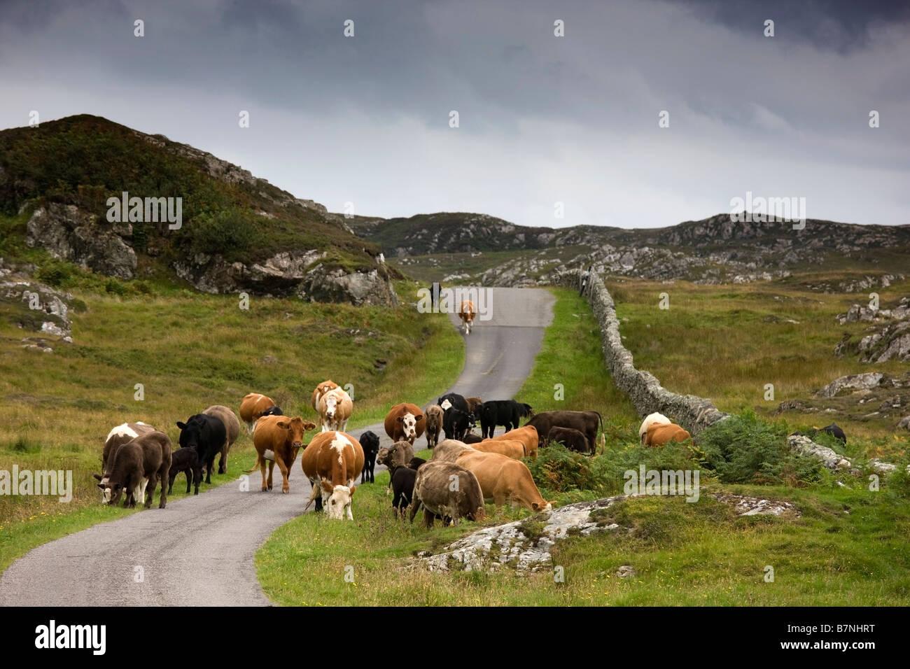 Bovini su una strada rurale, Scozia Immagini Stock