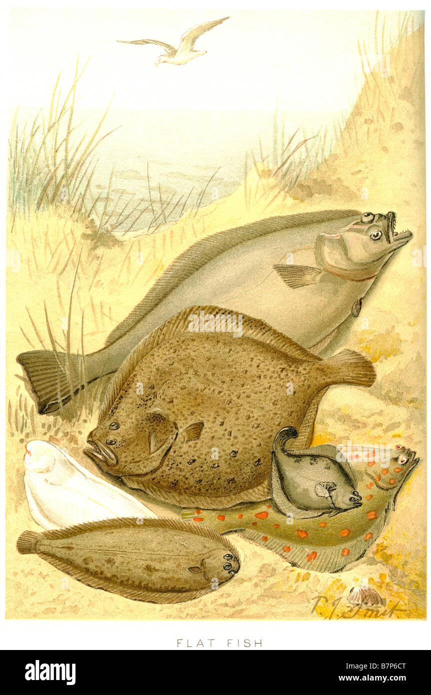 Pesce Piatto Pleuronectiformes Heterosomata Ray Lato Alettato