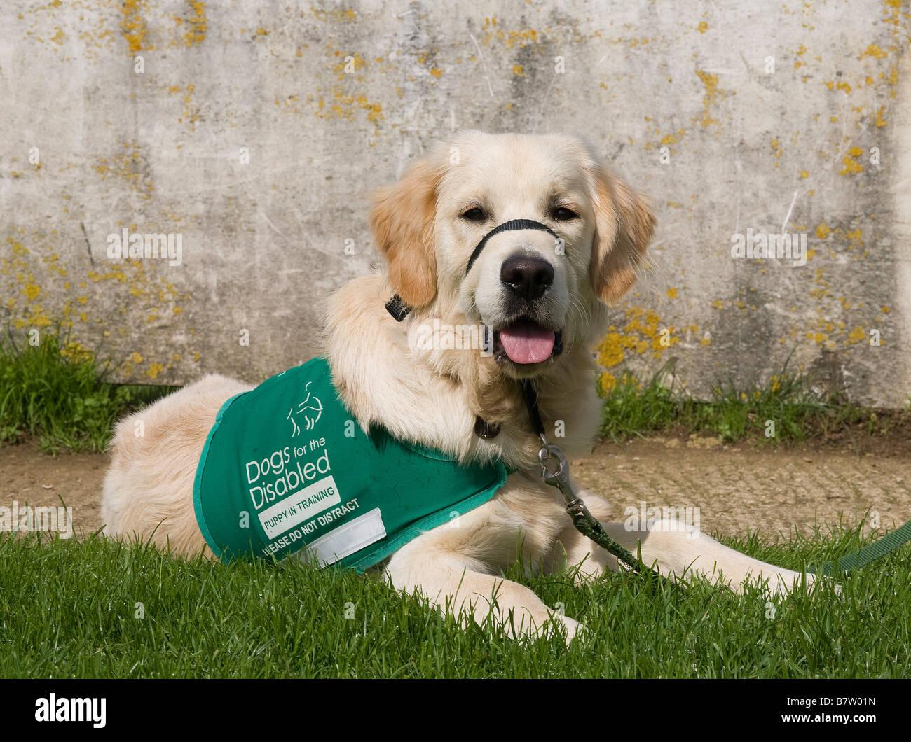 Buster, Yorkbeach per la sabbiatura, un cucciolo in formazione con i cani per i portatori di handicap, giace a terra Immagini Stock