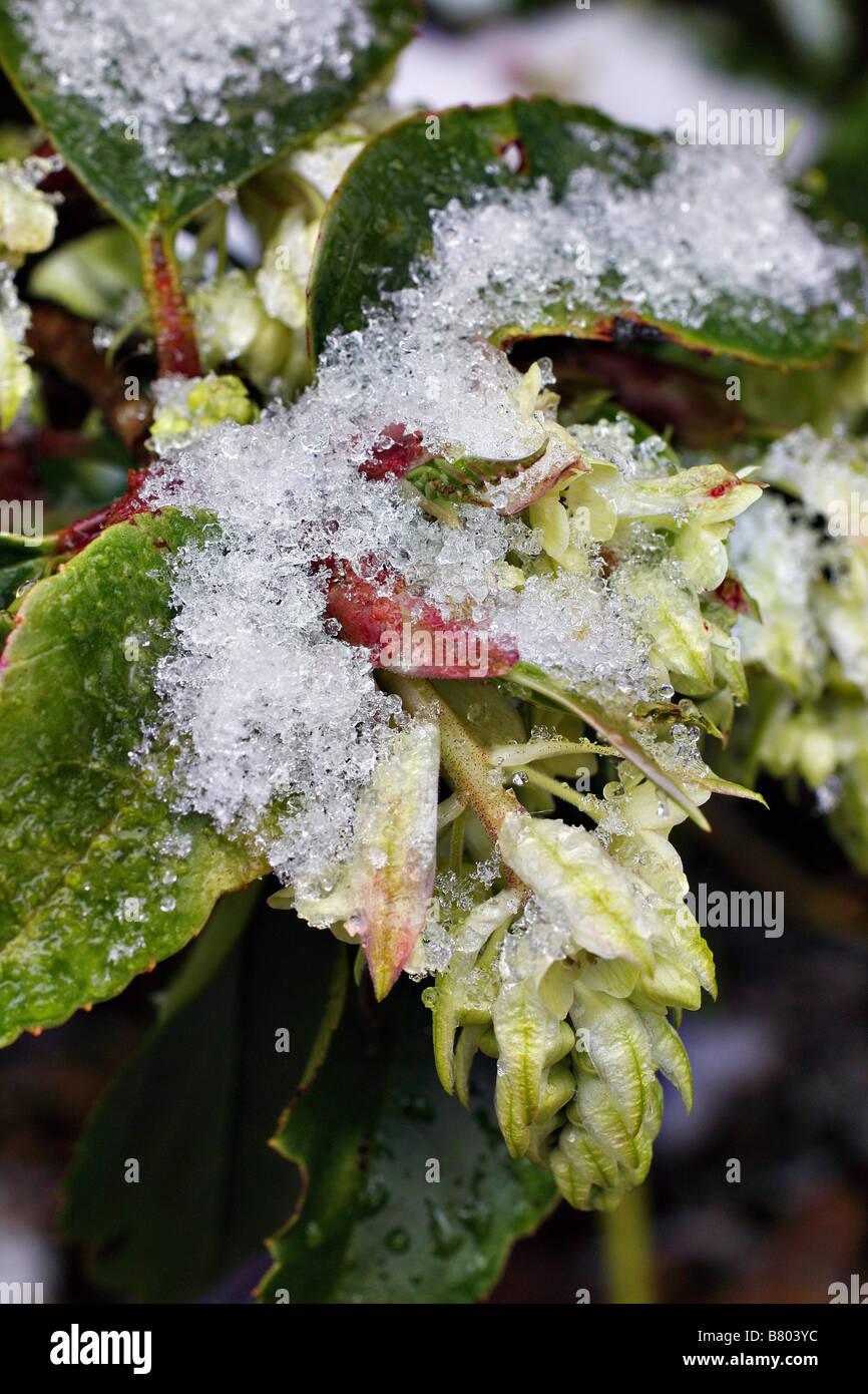 RIBES LAURIFOLIUM sopporta una neve di febbraio doccia Immagini Stock