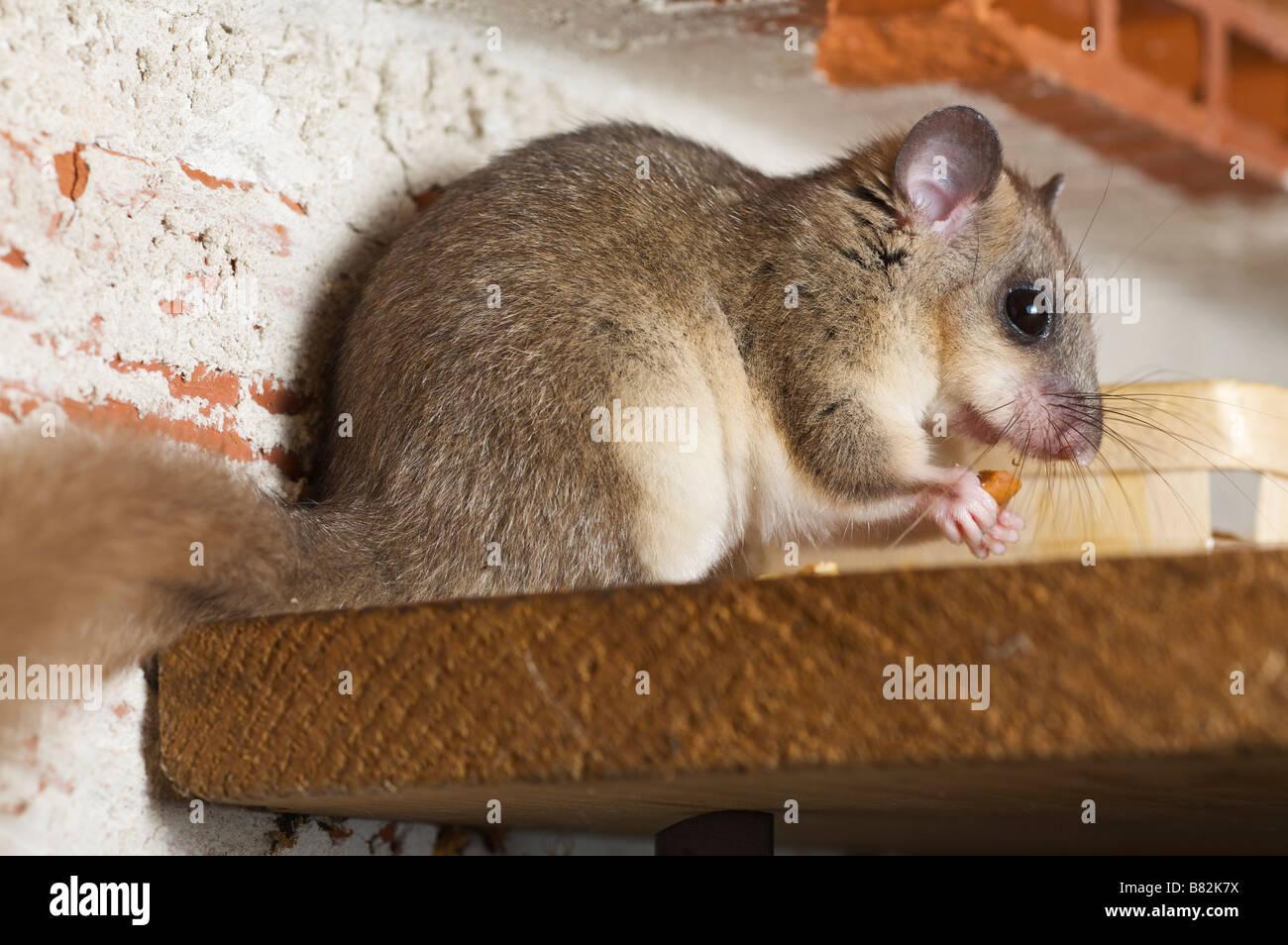 commestibili o fat ghiro myoxus glis in una casa brive la guaillarde