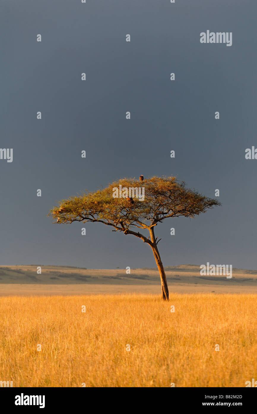Acacia sorge lungo il golden erbe del Serengeti nel Masai Mara riserva nazionale del Kenya. Immagini Stock