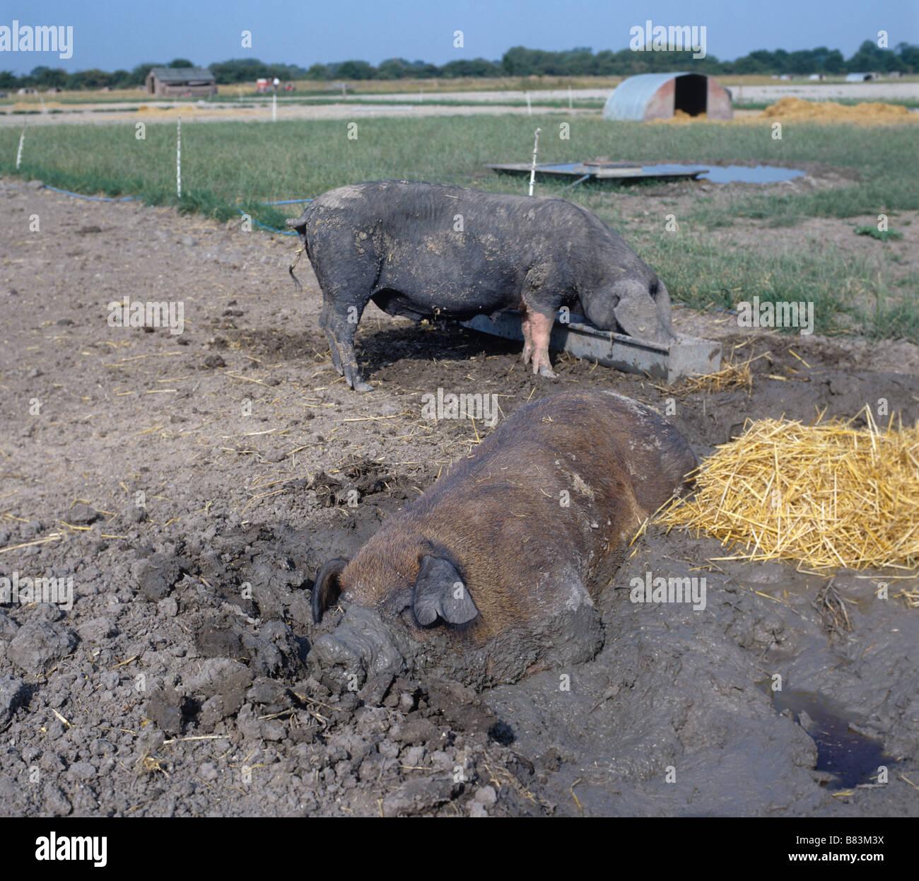 Duroc cinghiale wallowing in fango in una calda giornata estiva in una azienda agricola biologica Immagini Stock
