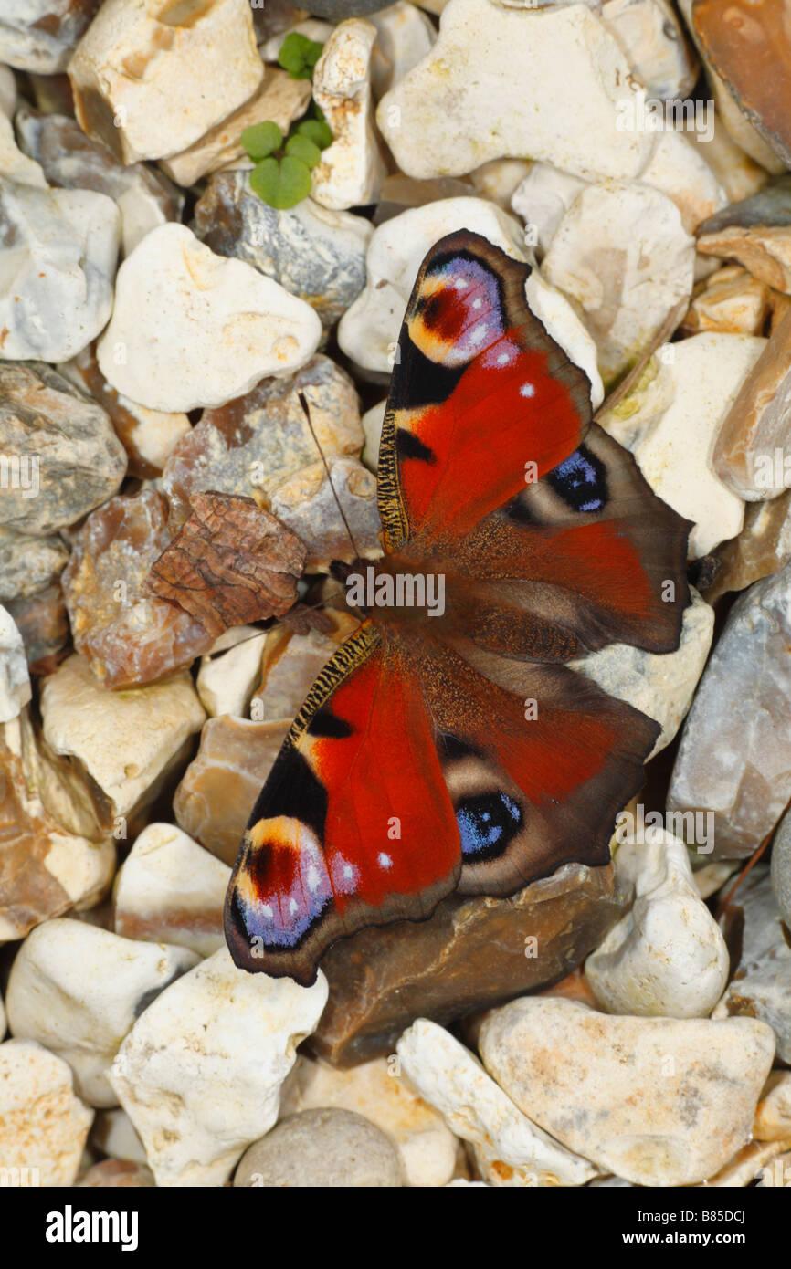 Farfalla pavone (Aglais io) crogiolarsi sulla ghiaia. Powys, Galles. Immagini Stock