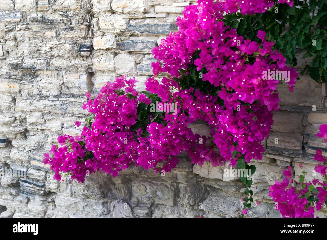 In piastrelle di pietra parete ricoperta con fiore fiori magenta