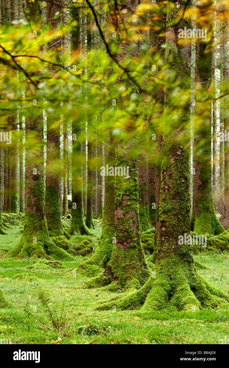 Gli alberi di pino, Gougane Barra, County Cork, Irlanda Immagini Stock