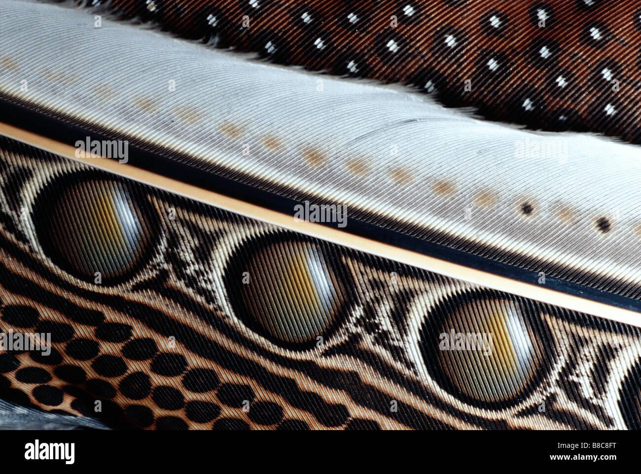 Grande ARGUS fagiano Foto Stock