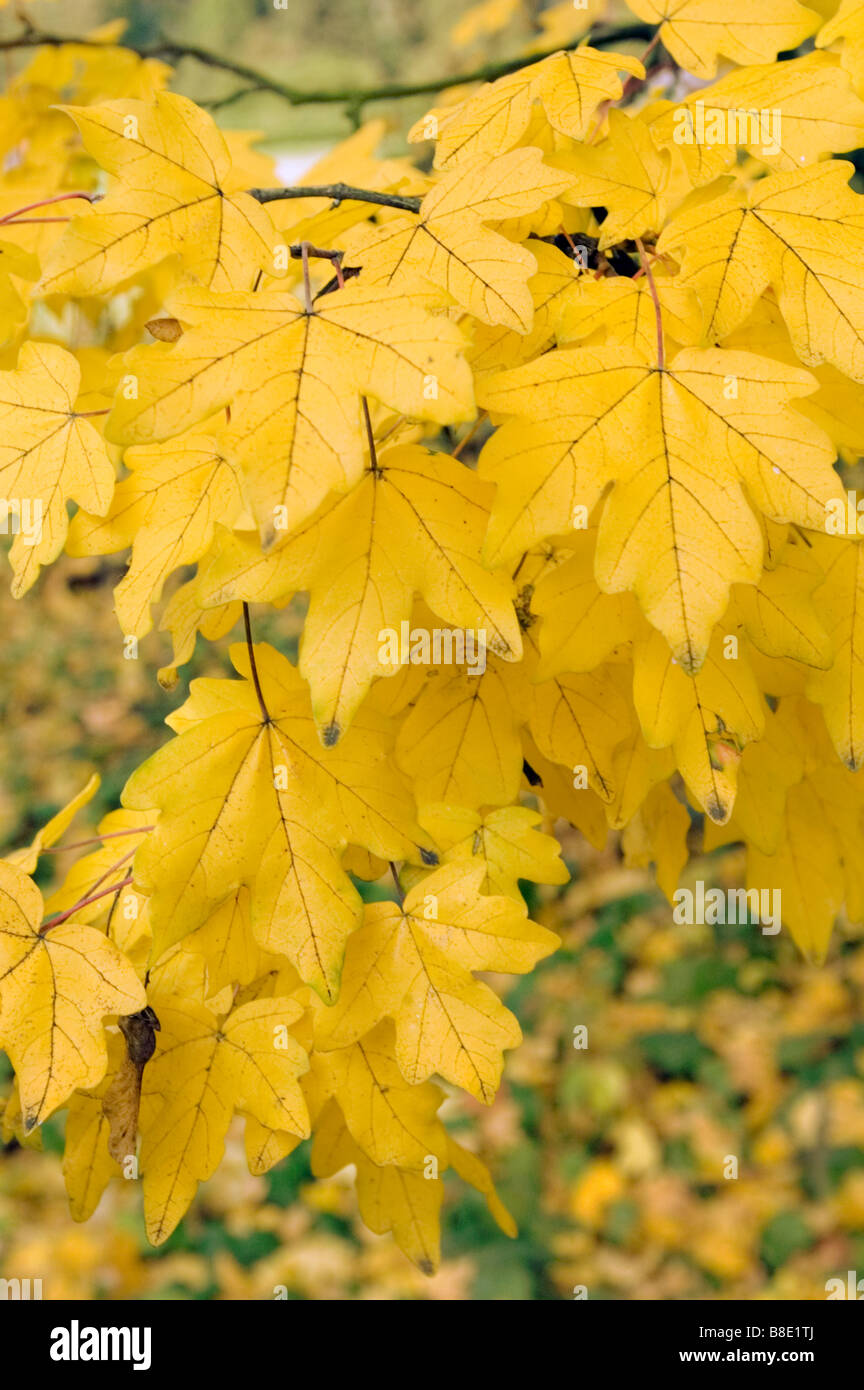 Giallo Autunno Foglie Di Acero Campestre Aceraceae Acer Campestre