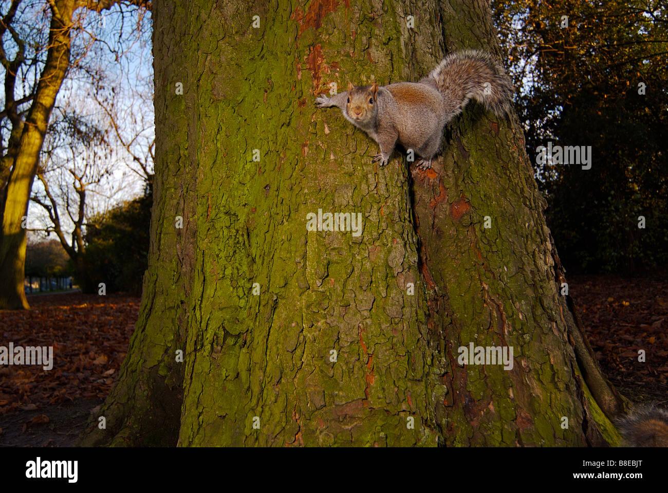 Lo scoiattolo aggrappati ad un tronco di albero Immagini Stock