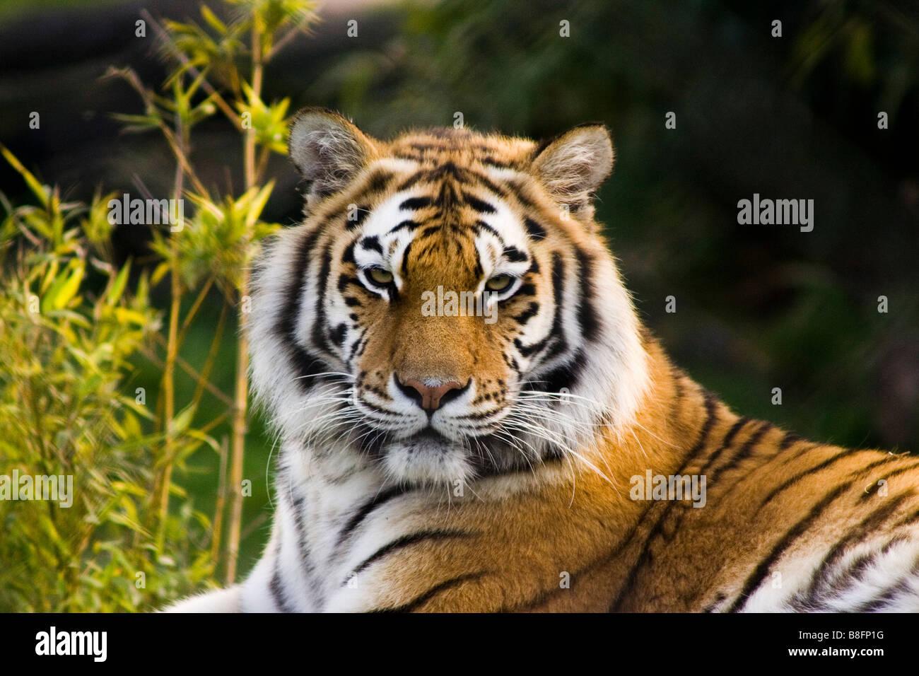 Tiger presso lo Zoo di Colchester Inghilterra Regno Unito Immagini Stock