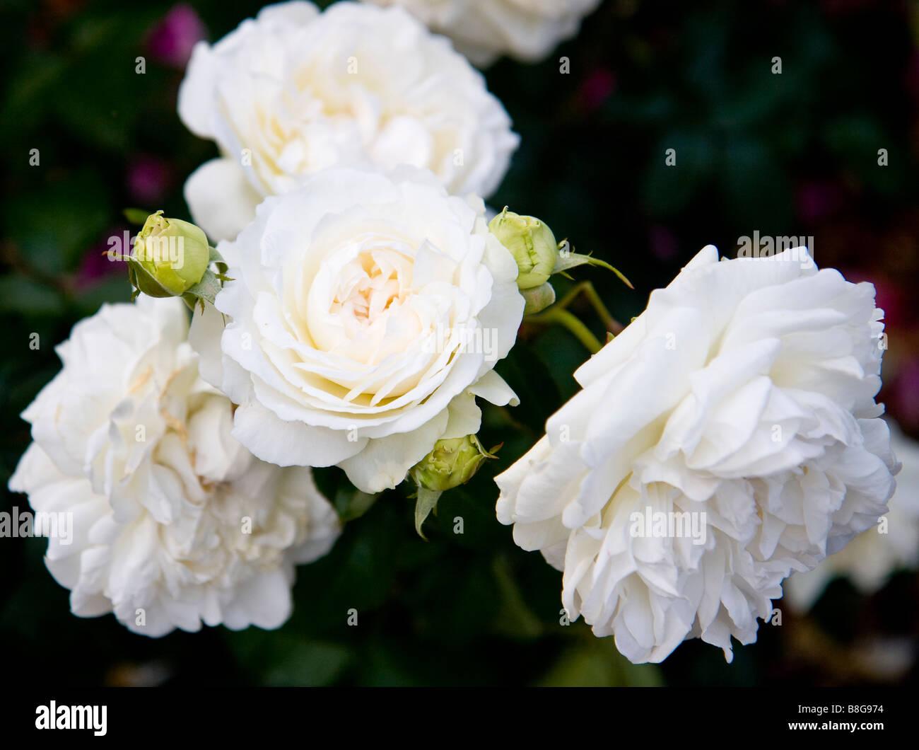 Rose bianche da Portland Rose Garden Immagini Stock