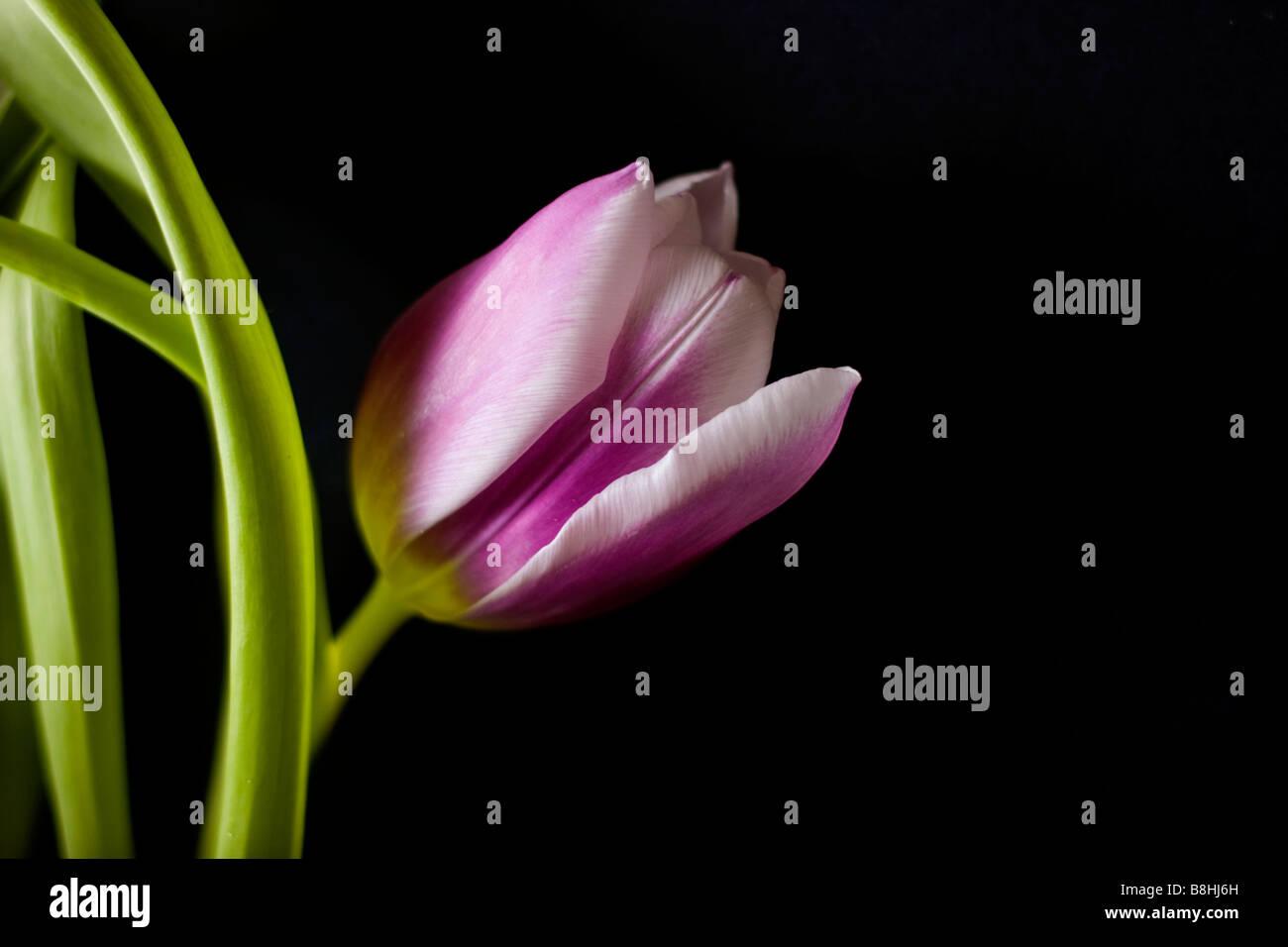 Viola Tulip Flower su sfondo nero Foto Stock