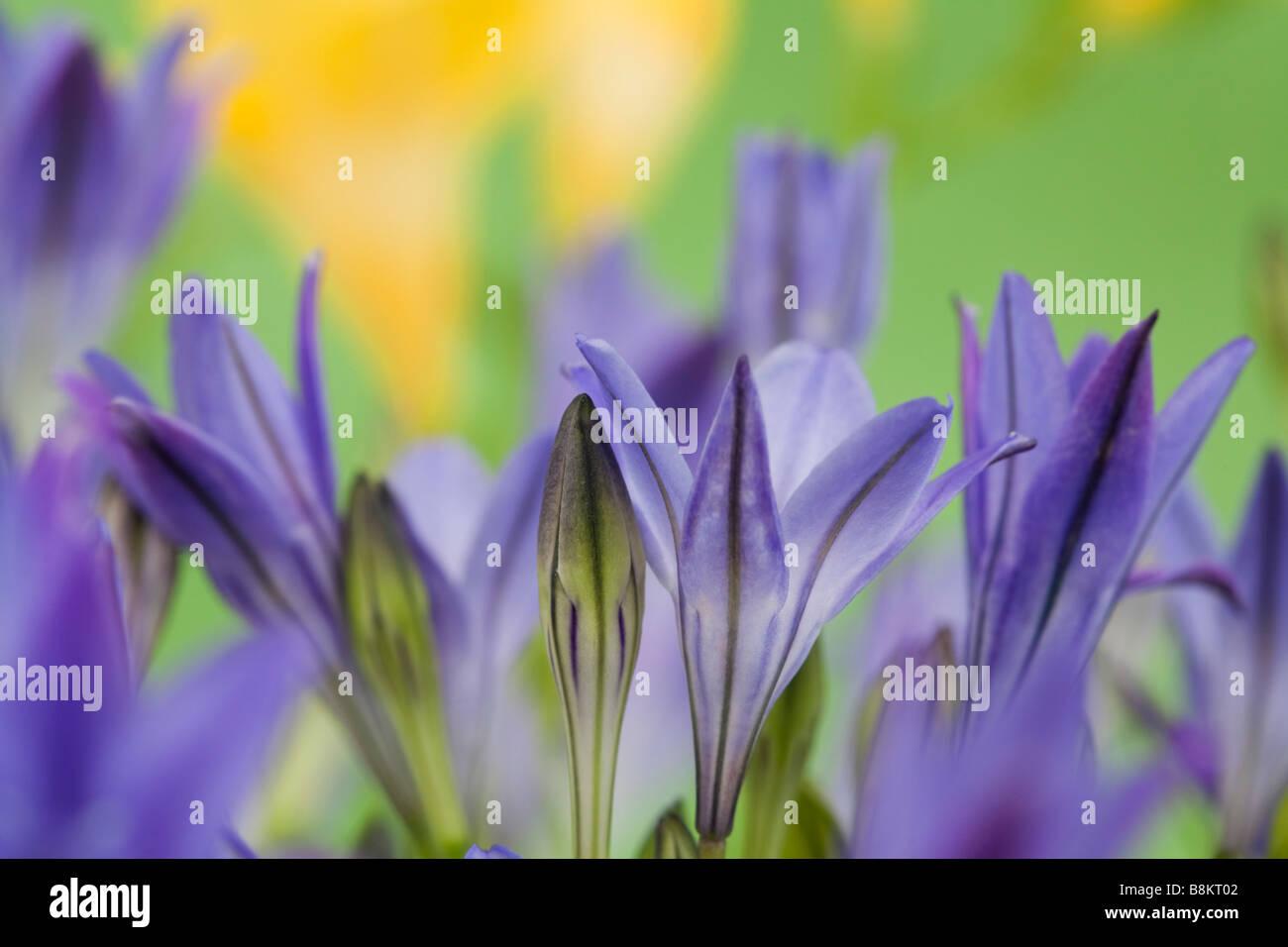 Triteleia laxa o Brodiaea laxa montante viola pallido fiori blu in stretta fino dolcemente diffusa. Immagini Stock
