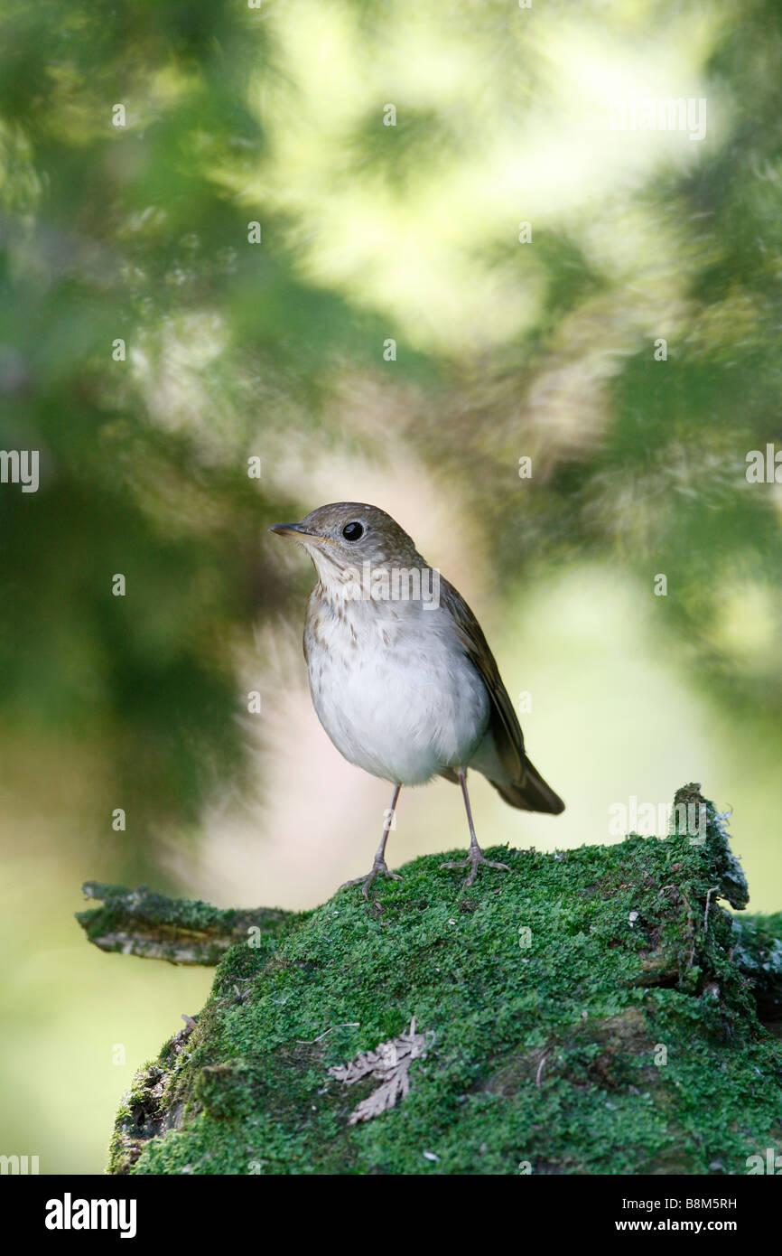 Veery arroccato su Moss registro coperto - Verticale Foto Stock