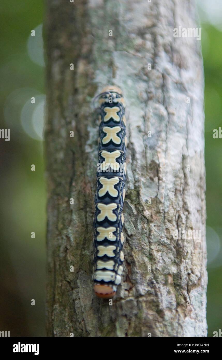 Caterpillar in Panama s Darien la giungla Immagini Stock