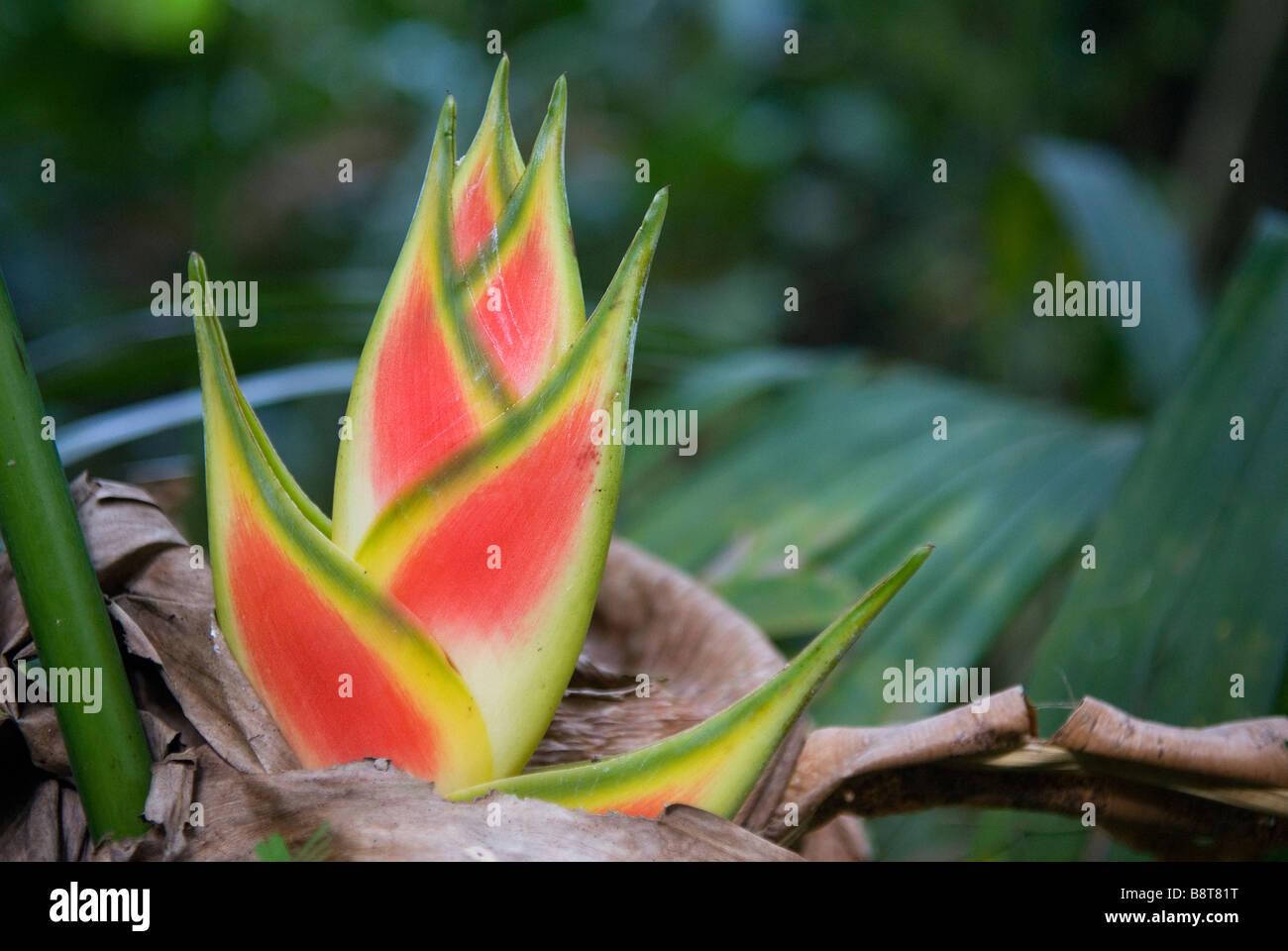 Heliconia nella giungla di Darien Panama Immagini Stock