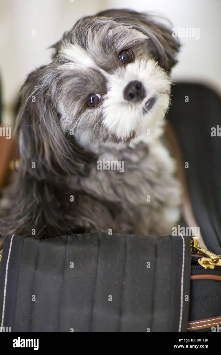Shih tzu-cane Maltese seduto nel suo vettore pet borsa da viaggio Immagini Stock