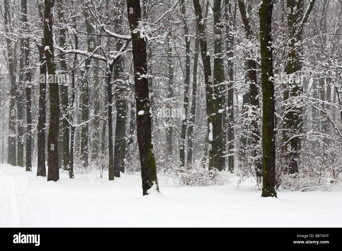 Foresta invernale durante la nevicata Immagini Stock