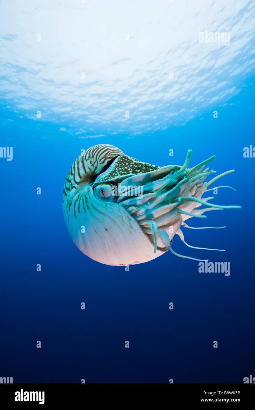 Nautilus Nautilus pompilio Grande Barriera Corallina in Australia Immagini Stock