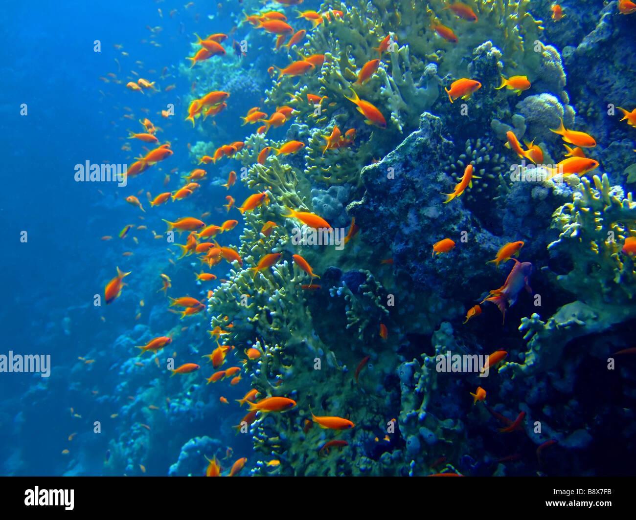 Paesaggio sottomarino con Scalefin Anthias e Coral Mar Rosso Immagini Stock