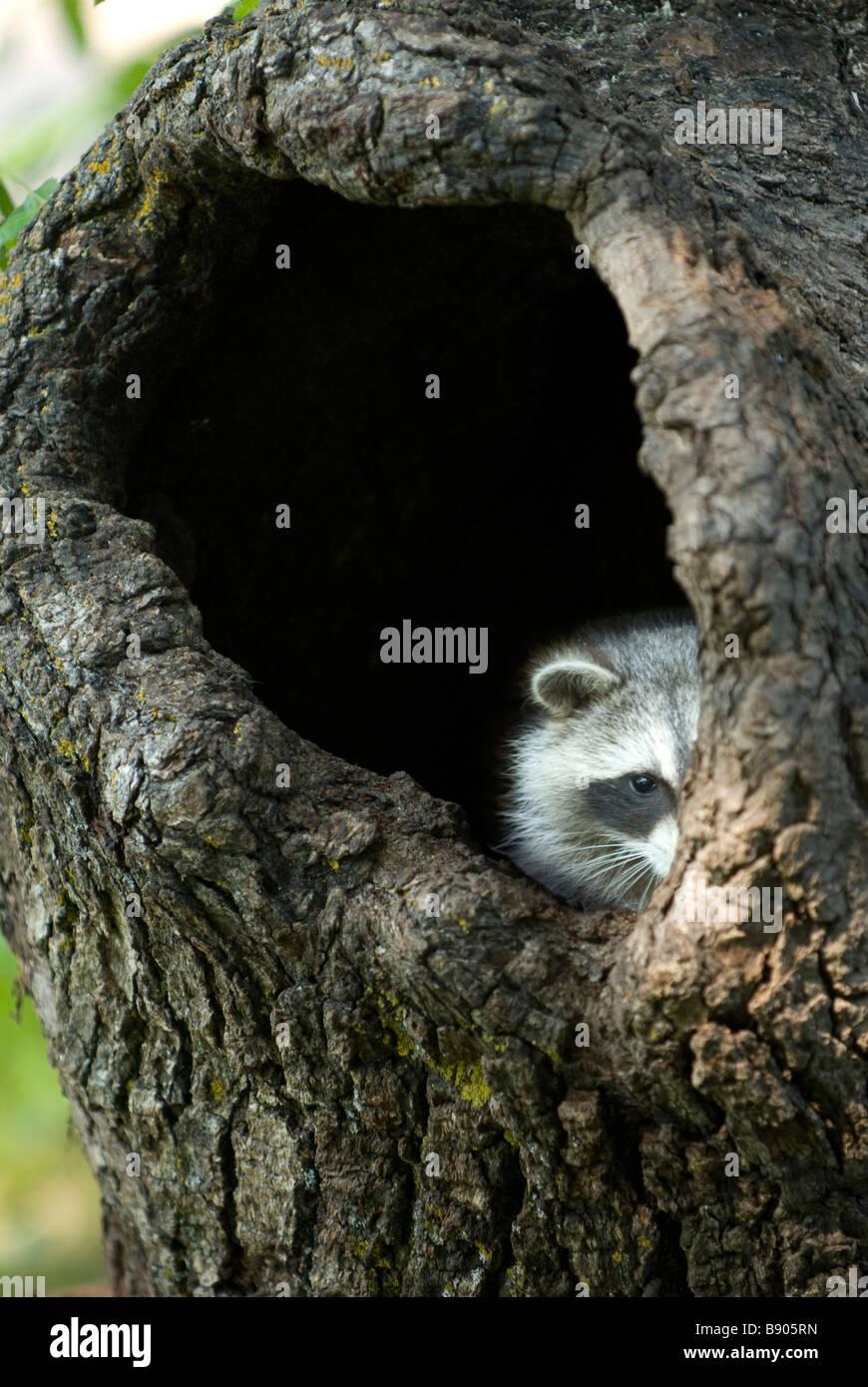 Raccoon che spuntavano da un buco in un tronco di albero Immagini Stock