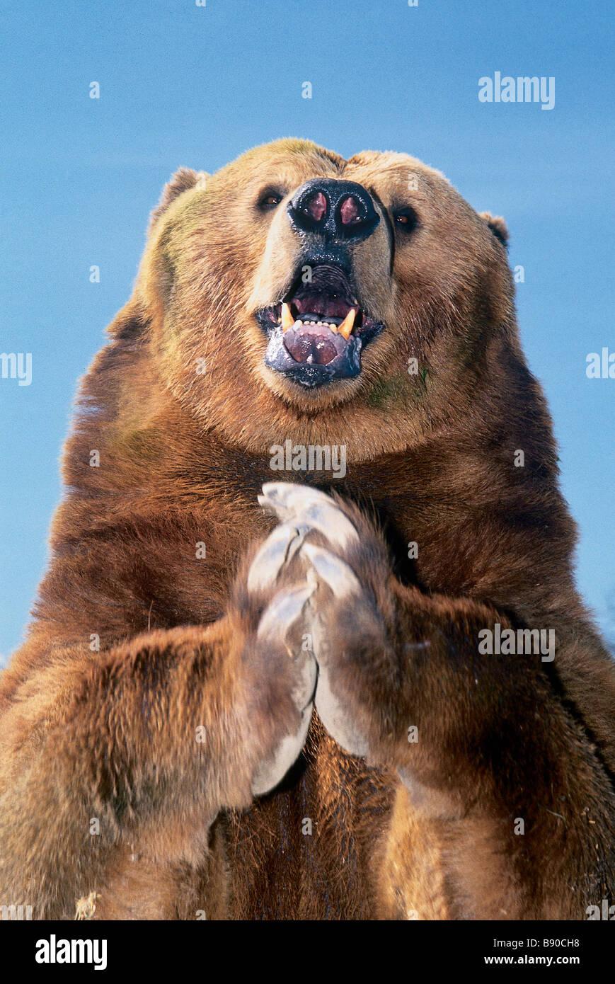 FL1156 Kitchin/Hurst; orso bruno in preghiera Immagini Stock