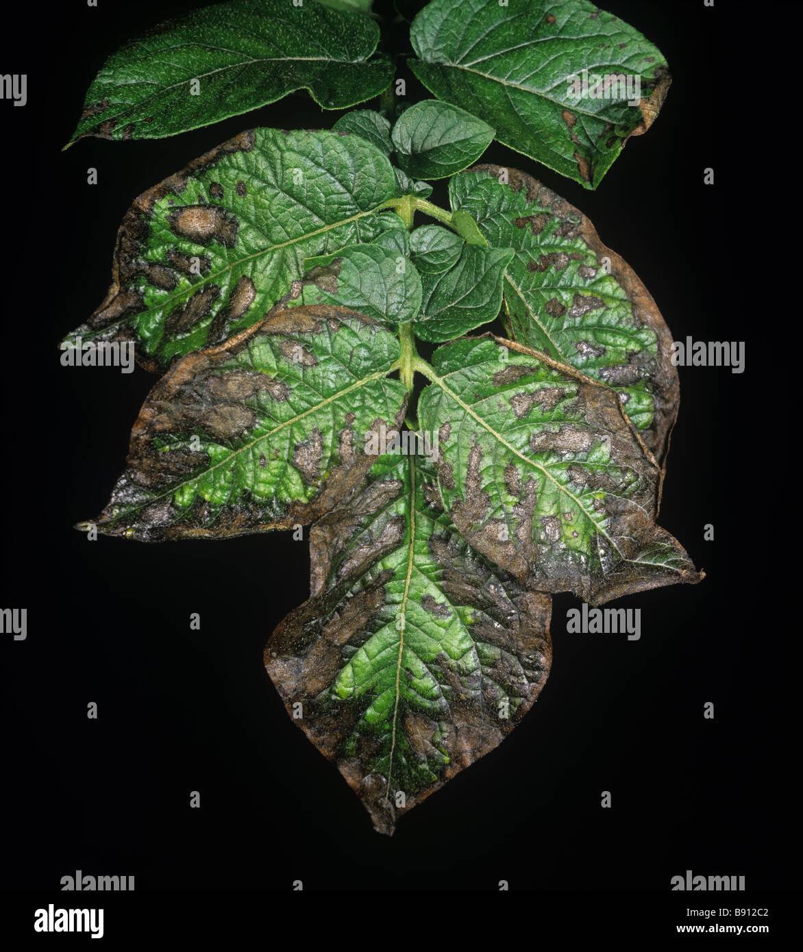 Potato leaf la necrosi la deficienza di magnesio a causa di un numero eccessivo di potassio e di stress della siccità Immagini Stock
