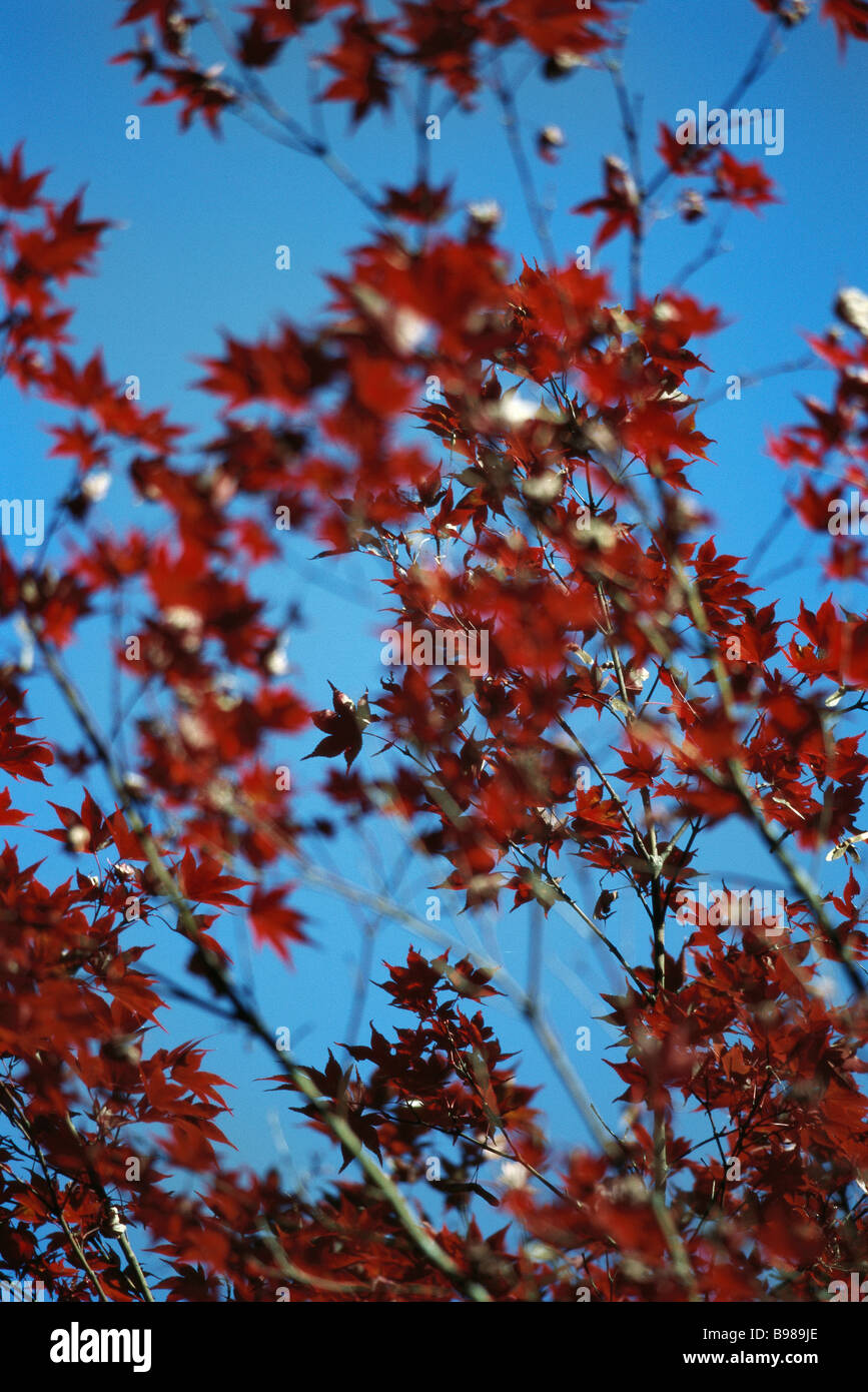 Acero Blu Giapponese rosse foglie di acero giapponese contro il cielo blu foto