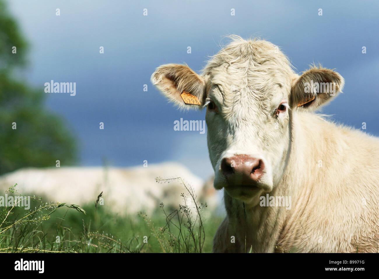 Vacca bianca in pascolo, close-up Immagini Stock