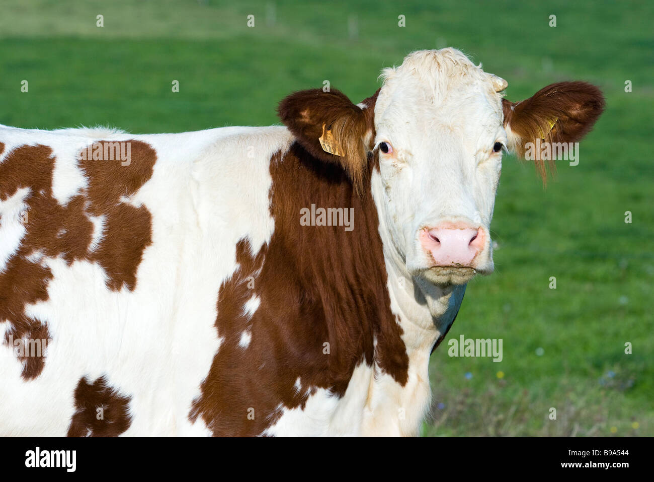 Montbéliard mucca, ritratto Immagini Stock