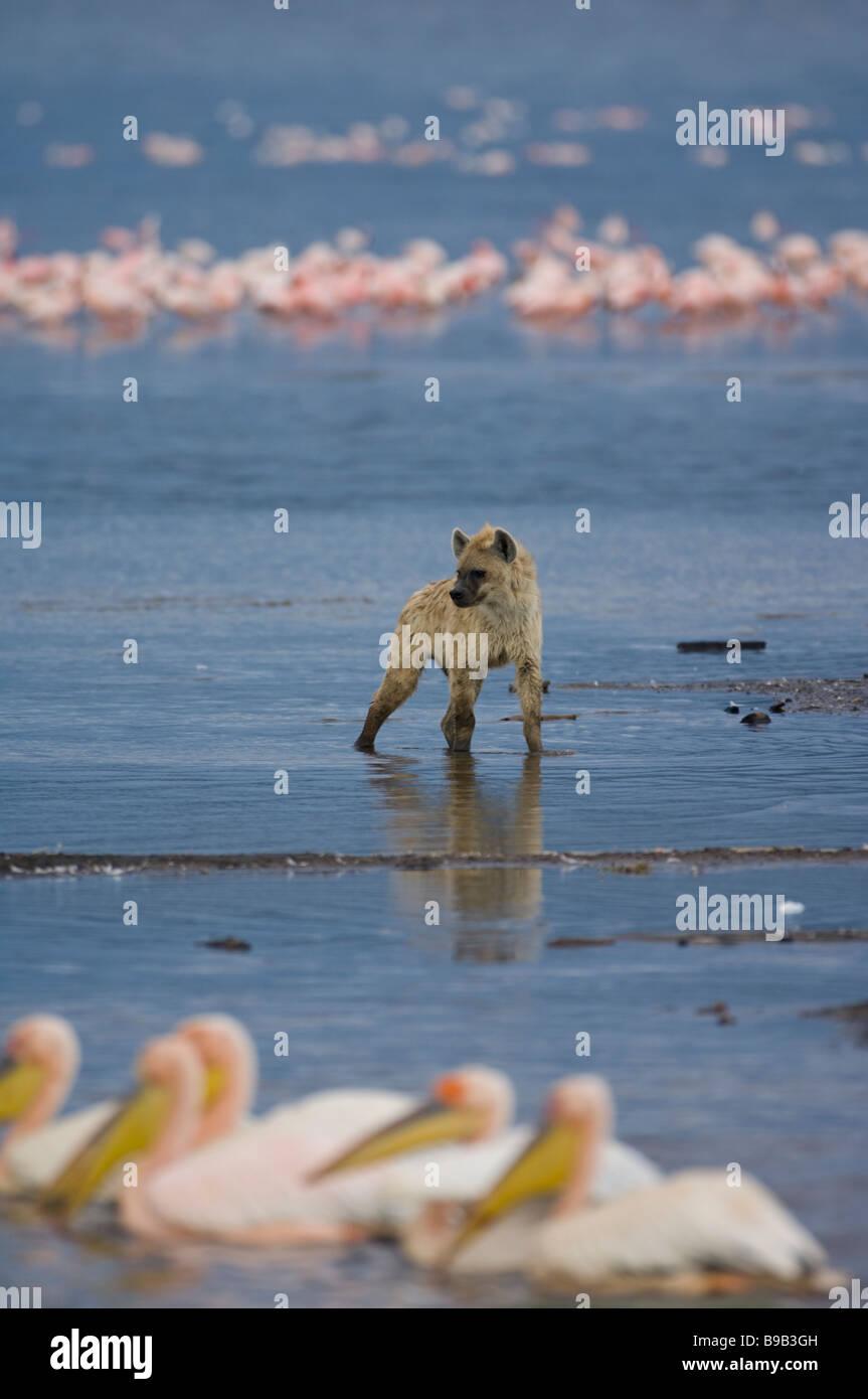 Spotted hyena ridere Iena Crocuta crocuta Immagini Stock