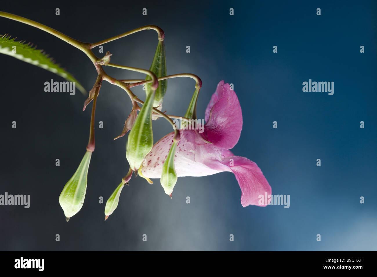 Indian touch-me-non Impatiens glandulifera dettaglio fioritura di capsule di semi emscherorchidee' giardino-piante alternativa Foto Stock