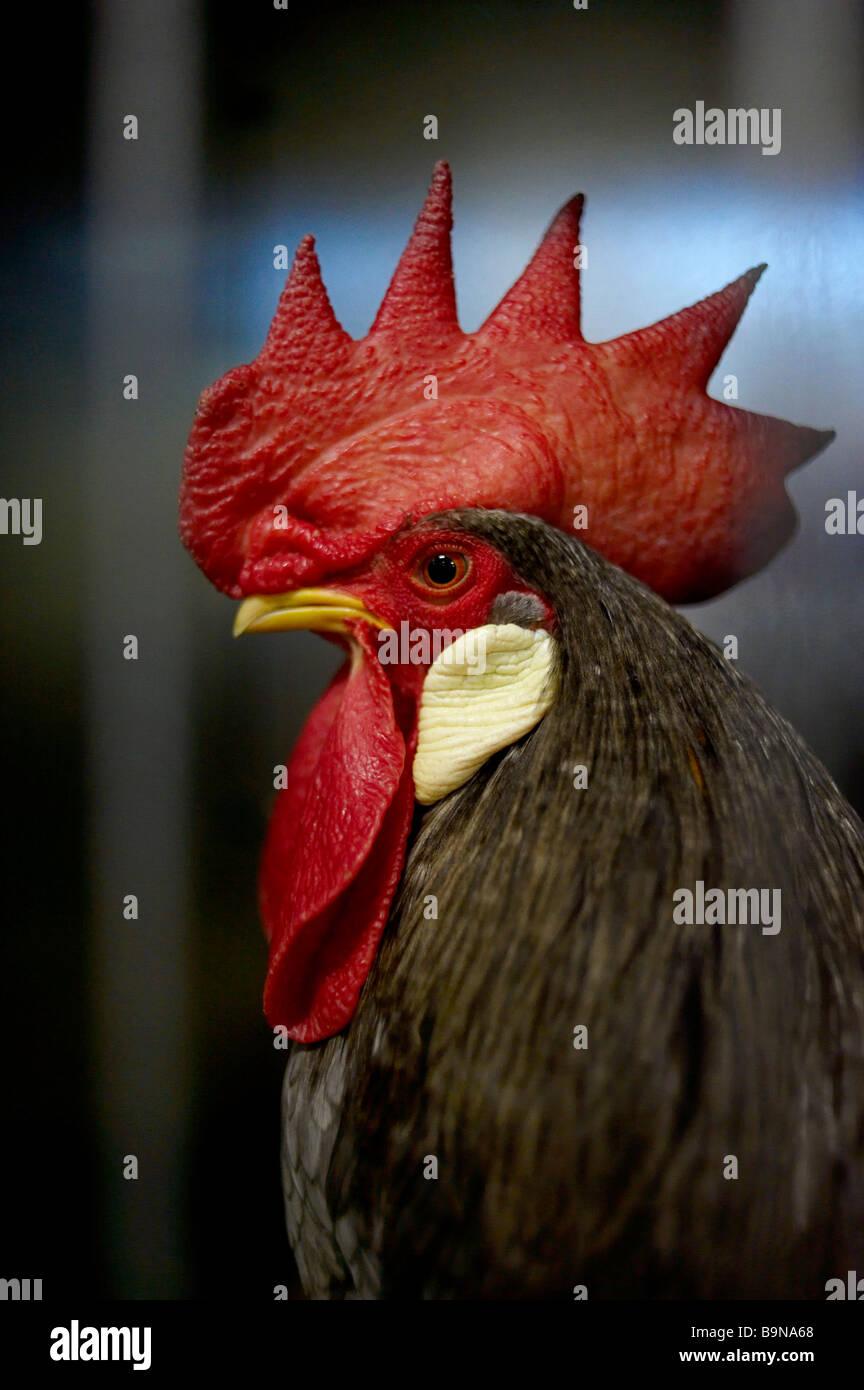 Vincitore del premio gallo nel pollame mostra Immagini Stock